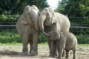 Asian elephants at the Columbus Zoo and Aquarium